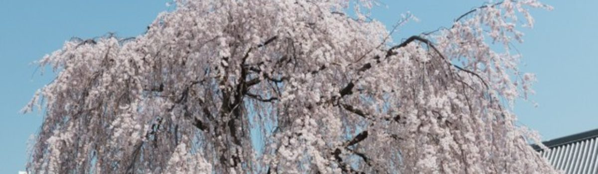 Tokyo Begins with Cherry Tree Blooms