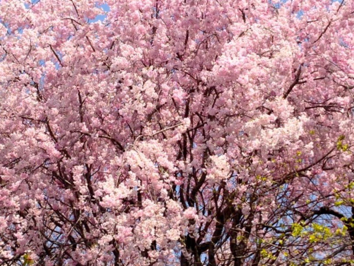 Springtime in Kyoto